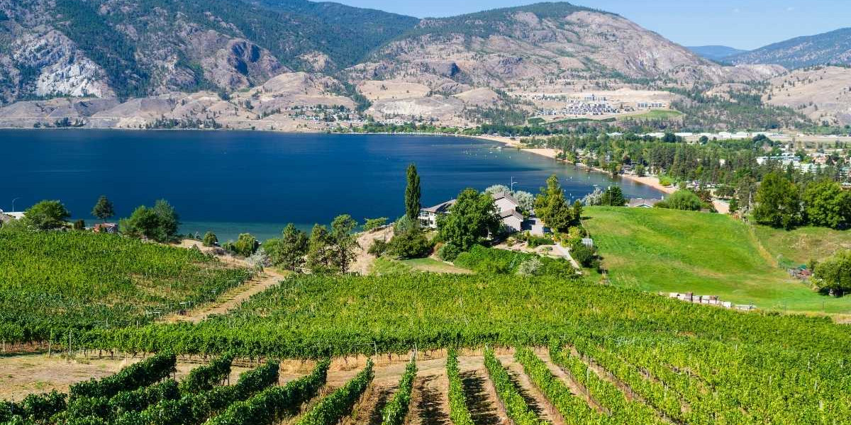 Winery Grape Vines in BC